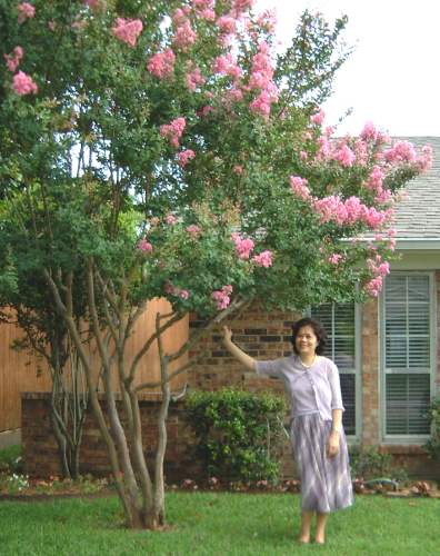 Ai Yueh fell in love with the crepe myrtles