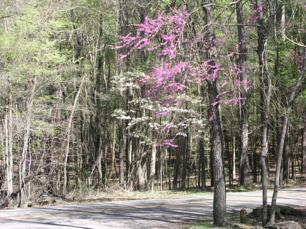 Redbud and Dogwood in Tyler State Park