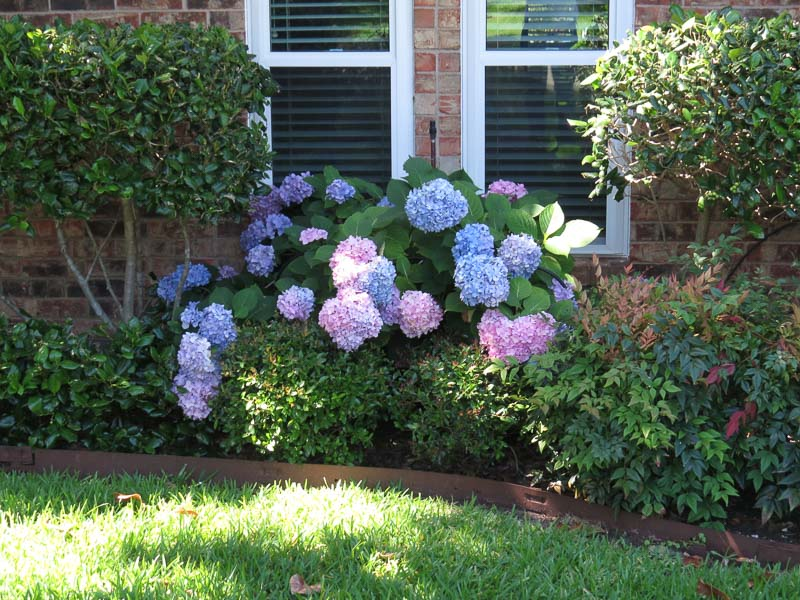 Angie's hydrangeas greeted us on our return home