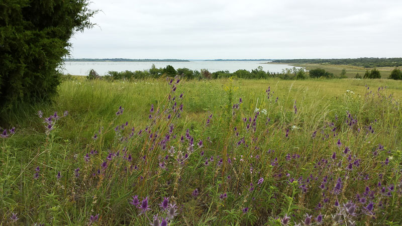 "Thistle and ""Snow on the Prairie"" in the fields around Lake Lavon"