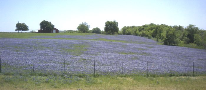 The hills are covered with bluebonnets down Ennis Way
